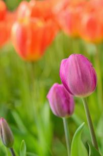 チューリップの花壇の写真素材 [FYI00289717]