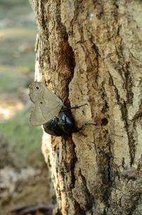 コナラの樹液場のヒカゲチョウとクロカナブンの写真素材 [FYI00289723]