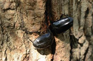 コナラの樹液場のクロカナブンの写真素材 [FYI00289738]