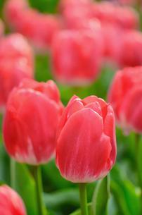 チューリップの花壇の写真素材 [FYI00289740]