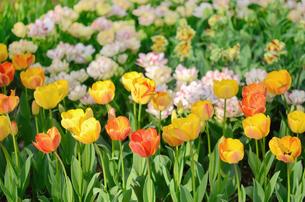 チューリップの花壇の写真素材 [FYI00289742]