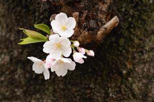 幹に咲く桜の花の写真素材 [FYI00289770]