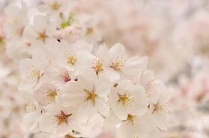 桜の花の写真素材 [FYI00289771]