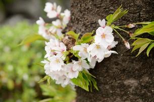 幹に咲く桜の花の写真素材 [FYI00289776]