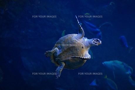海亀の写真素材 [FYI00289888]