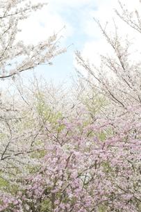 晴れの日の桜の写真素材 [FYI00290006]