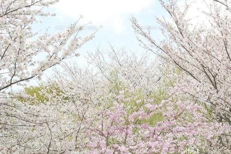 春の笑みの写真素材 [FYI00290012]