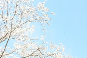 晴れの日の桜の写真素材 [FYI00290019]