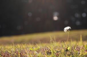 光降注ぐ芝生にタンポポの種の写真素材 [FYI00290095]