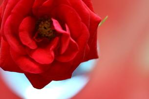 赤いミニバラと丸い花瓶の写真素材 [FYI00290101]