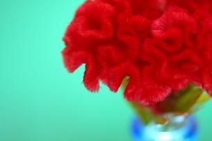 ケイトウの赤い花と青い花瓶の写真素材 [FYI00290106]