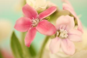 ブルースターのピンク(水色背景)の写真素材 [FYI00290109]