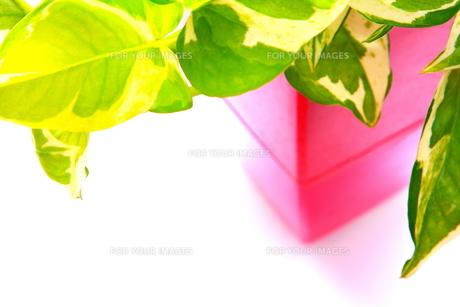 赤い植木鉢のポトスの写真素材 [FYI00290111]