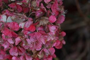 秋の朽ちゆく紫陽花の花の写真素材 [FYI00290112]