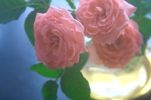 ソフトなピンク色の薔薇の写真素材 [FYI00290113]