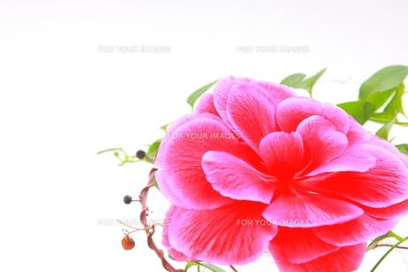 ピンク色の大輪のベゴニアとツタのアップの素材 [FYI00290114]