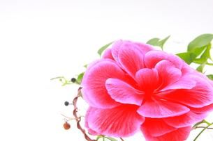 ピンク色の大輪のベゴニアとツタのアップの写真素材 [FYI00290114]