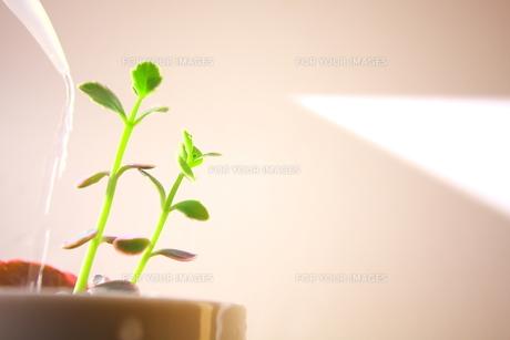 観葉植物の水やりの写真素材 [FYI00290119]
