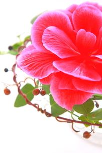 ピンク色のベゴニアとツタのアップの写真素材 [FYI00290127]