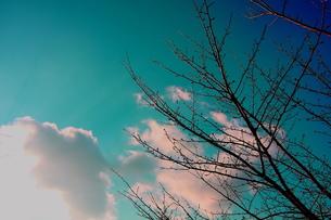 冬の桜の木の写真素材 [FYI00290130]