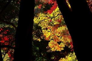 幹のシルエットの奥に鮮やかな紅葉の写真素材 [FYI00290132]