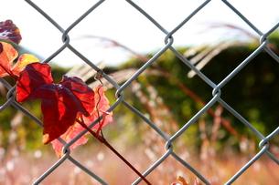 フェンス越しの秋の風景の写真素材 [FYI00290133]