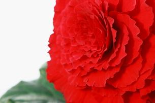 赤い大輪のベゴニアの写真素材 [FYI00290137]