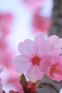 満開の桜のアップの写真素材 [FYI00290147]