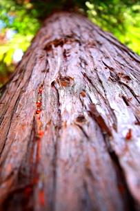 樹液の写真素材 [FYI00290148]