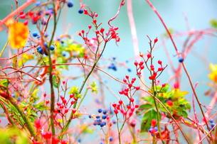 赤と青の木の実の写真素材 [FYI00290151]