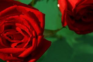 水に浮かぶ赤い薔薇の写真素材 [FYI00290157]