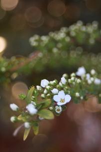 木漏れ日の中で咲くユキヤナギの写真素材 [FYI00290158]
