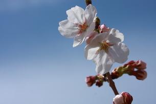 青空と満開の桜の写真素材 [FYI00290164]