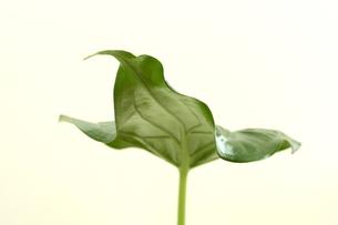 葉の写真素材 [FYI00290168]