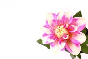ピンクのダリアの蕾の写真素材 [FYI00290173]