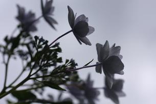 曇りの日の紫陽花の写真素材 [FYI00290176]