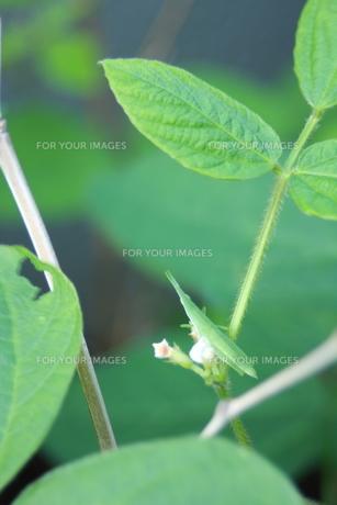 枝豆の花にとまっているバッタの写真素材 [FYI00290183]
