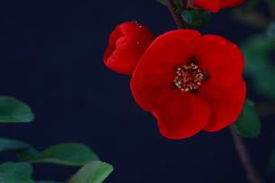 ボケの花の写真素材 [FYI00290184]