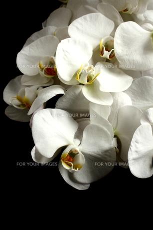 胡蝶蘭の写真素材 [FYI00290193]
