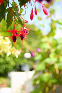 フクシアの花が咲く庭の写真素材 [FYI00290195]