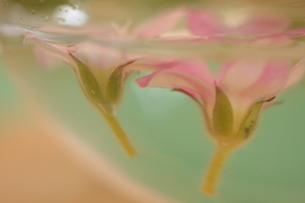 水に浮かぶ花の写真素材 [FYI00290199]
