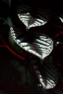 セイシカズラ 観葉植物の写真素材 [FYI00290208]