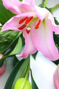 ピンクの百合の写真素材 [FYI00290210]