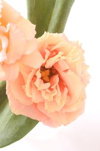 ピンクのトルコキキョウの写真素材 [FYI00290212]