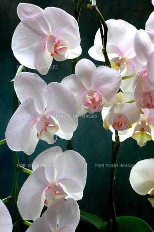 白い胡蝶蘭の写真素材 [FYI00290220]