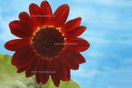 赤いヒマワリの写真素材 [FYI00290227]
