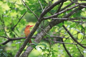火の鳥・アカショウビンの写真素材 [FYI00290256]