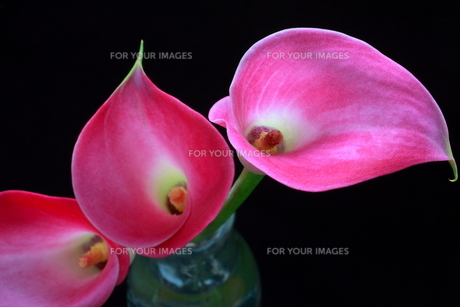 ピンクのカラーの写真素材 [FYI00290260]