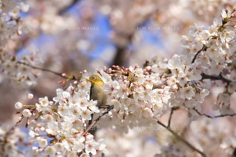 桜とメジロの写真素材 [FYI00290286]