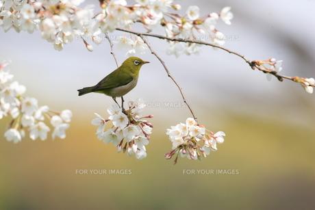 桜とメジロの写真素材 [FYI00290290]